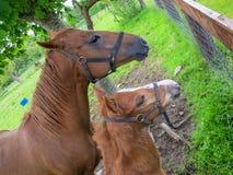 Merrie en veulenpaard Royalty-vrije Stock Afbeeldingen