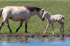 Merrie met haar veulen op de kust van de vijver Paarden bij de plaats van het water geven Basjkirië royalty-vrije stock afbeeldingen