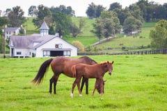 Merrie met haar veulen op weilanden van paardlandbouwbedrijven Stock Foto's