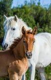 Merrie met haar veulen Wit camarguepaard Parc Regional DE Camargue frankrijk royalty-vrije stock fotografie