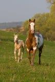 Merrie met veulen het lopen Stock Foto