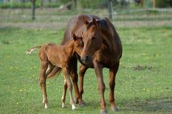 merrieveulen met zijn moeder Stock Afbeelding