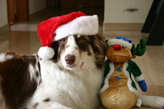 Merry Christmas. A red merle australian shpeherd is posing with a stuffed raindeer stock photos
