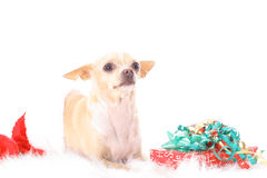 Merry christmas chihuahua. Photo of merry christmas chihuahua Royalty Free Stock Photo