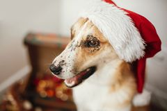 Merry Christmas concept. Cute dog in santa hat with adorable eye stock photo
