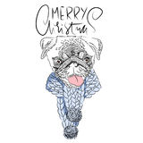 Merry Christmas. Handdrawn white and black modern dry brush lettering. Dog with knitted scarf. Cute pug portrait. Vector illustrat. Ion Royalty Free Stock Images