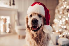 Dog on New Year`s Eve. Merry Christmas and Happy New Year! Cheerful dog labrador is sitting in Santa Claus hat. Golden retriever is waiting for the holiday at royalty free stock photo