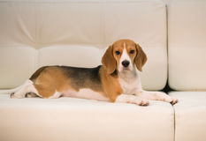 Merry Christmas and Happy New Year. Beagle on the sofa Stock Image