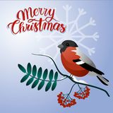 Merry christmas postcard. Bullfinch on a branch with christmas decorations. And berry vector illustration