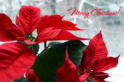 Merry Christmas.Red Poinsettia Euphorbia Pulcherrima flowers on a snowy window background. Christmas star or Star of Bethlehem plant as a background for winter stock photography