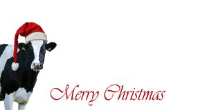Merry Christmas with snow and Cow.Christmas greeting card with cow on a white background