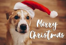 Merry christmas text, seasonal greetings card sign. dog in santa. Hat. cute brown dog in red hat sitting in stylish room with adorable look. happy holidays Royalty Free Stock Photography