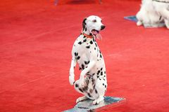 Merry Dalmatian sits on red circus arena Royalty Free Stock Images