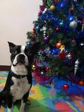 Merry dog Christmas stock photo
