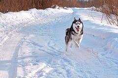 Merry husky dog runs fast. Siberian husky runs ahead with all its might. Merry husky dog runs fast. Black and white Siberian husky runs ahead with all its might Royalty Free Stock Photos