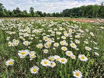 Merry Oxeye Daisy Wildflower Landscape. This is an Alabama Usa wildflower field, oxeye daisies, Chrysanthemum leucanthemum. They are growing in Limestone County stock images