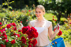 Merry young woman working with bush roses with horticultural too stock photography