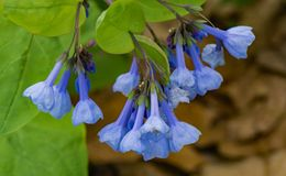 Mertensia virginica -小组弗吉尼亚会开蓝色钟形花的草 免版税库存图片