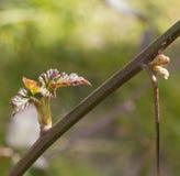 Merton wiosny Bezcierniowy Jeżynowy przyrost Zdjęcia Stock