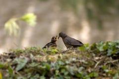 Merula del Turdus o merlo comune che alimenta il suo bambino Fotografie Stock