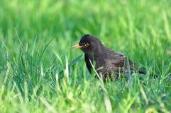 Merula del Turdus, pájaro negro Fotos de archivo libres de regalías