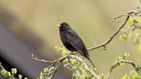 Τραγούδι merula turdus κοτσύφων σε ένα δέντρο απόθεμα βίντεο