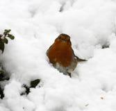Merveille Robin de l'hiver Image libre de droits