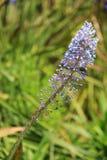 Merwilla Plumbea - Blouberglelie in Kirstenbosch Park Royalty Free Stock Photo