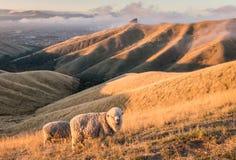 Merynosowych cakli pasanie na Więdniemy wzgórzach w Nowa Zelandia przy zmierzchem obraz stock