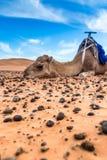 Merzouga in the Sahara Desert in Morocco. Africa Stock Image
