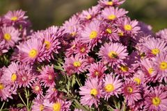 Mes asters roses photographie stock