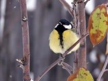 Mes på ungt äppleträd Fotografering för Bildbyråer