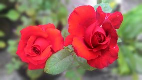 Mes roses rouges Photographie stock