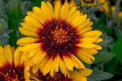 Mesa Blanket Flower amarillo Imágenes de archivo libres de regalías