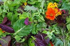 Mesclun与可食的花的沙拉绿色 库存图片