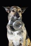 Mescoli il cane affamato della razza e la ciotola, isolata sul nero Immagini Stock