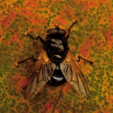 Mesembrina meridiana fly Stock Images
