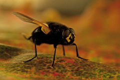 Mesembrina meridiana fly Royalty Free Stock Image