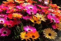 Mesembryanthemum Royalty Free Stock Photos