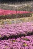 Mesembryanthemum Crystallinum farming with sprinklers Royalty Free Stock Image