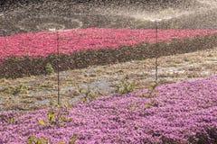 Mesembryanthemum Crystallinum farming with sprinklers Stock Image