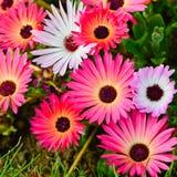 Mesembryanthemum daisy flowers. In full bloom in the garden Royalty Free Stock Photos