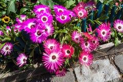Mesembryanthemum daisy flowers Stock Photography