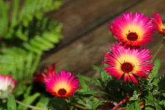 Mesembryanthemum flowers in garden. Pink and yellow mesembryanthemum flowers in garden royalty free stock images