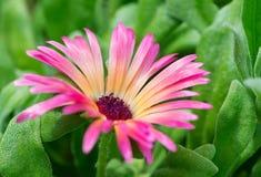 Mesembryanthemum Royalty Free Stock Images