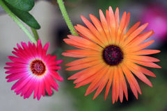 Mesembryanthemum his real sun providers Stock Image