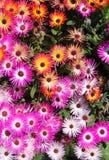 Mesembryanthemum (ice plant) flowers Stock Image