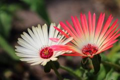 Mesembryanthemumcriniflorum twee kleurenbloemen royalty-vrije stock foto's