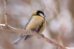 Mesen sitter på ett filialträd i vinterskog fotografering för bildbyråer
