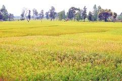 4 meses do arroz dourado colocam a colheita de espera de brilho fotografia de stock royalty free